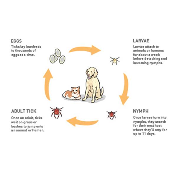 دورة حياة القراد في الكلاب